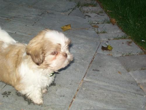 Dusty The shih tzu as a puppy!!!