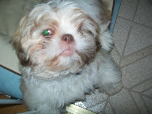 Dusty The shih tzu as a puppy!!!