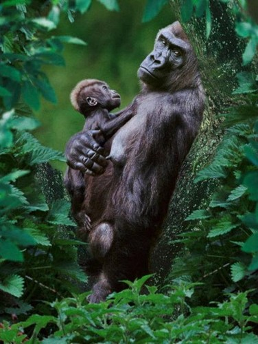 Animals wallpaper titled Gorilla And Her Baby