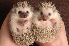 Jimmy and boon the Hedgehogs
