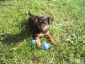 My Border Terrier Tiny