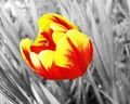 Tulip  - photography photo