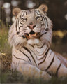 White tiger - the-animal-kingdom photo
