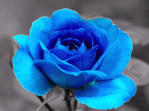 beautyful blue rose