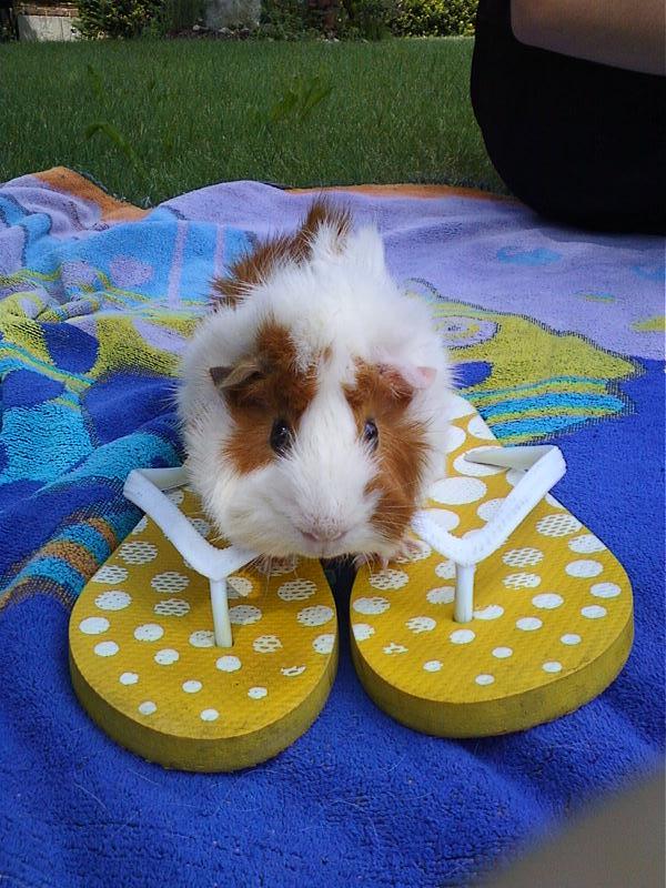 flip flop guinea pig