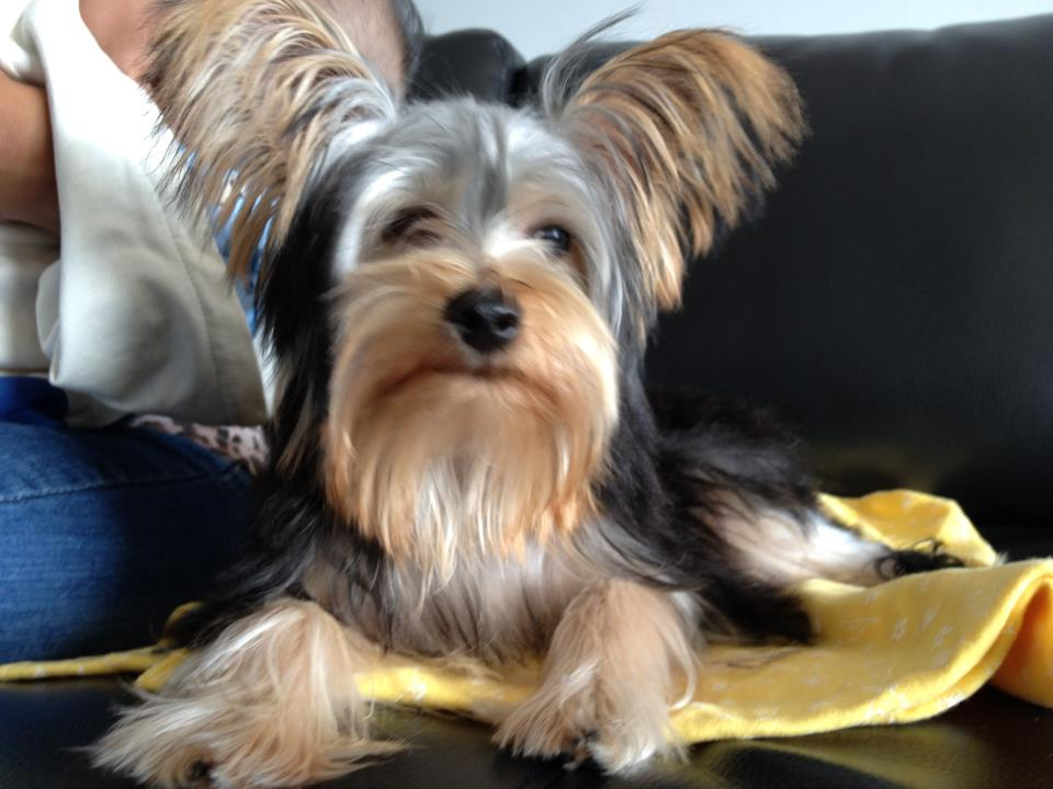 tiger the yorkshire terrier