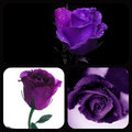 ★ Purple rose ☆