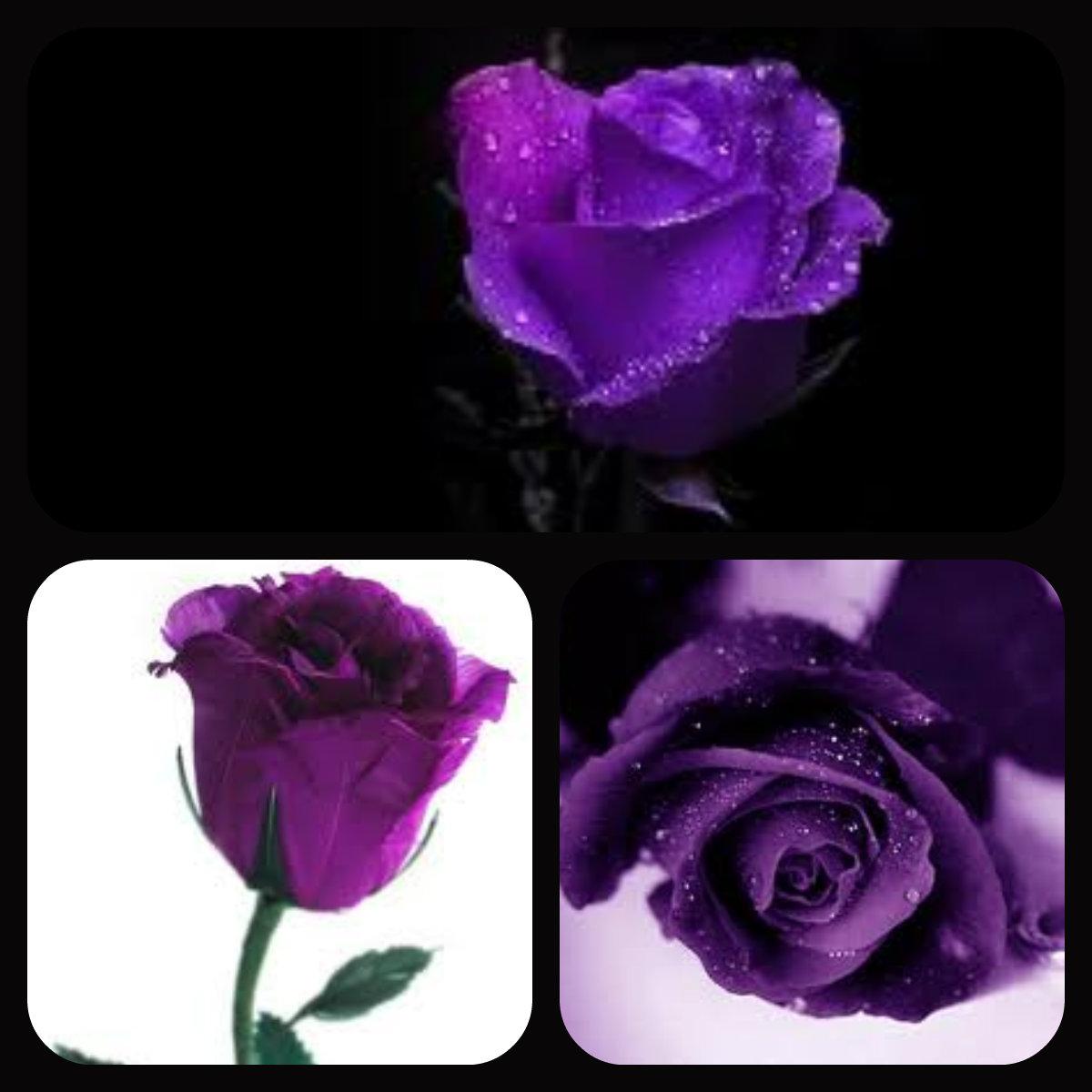 ★ Purple hoa hồng ☆