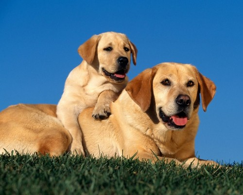 Animals wallpaper probably with a labrador retriever titled Animals
