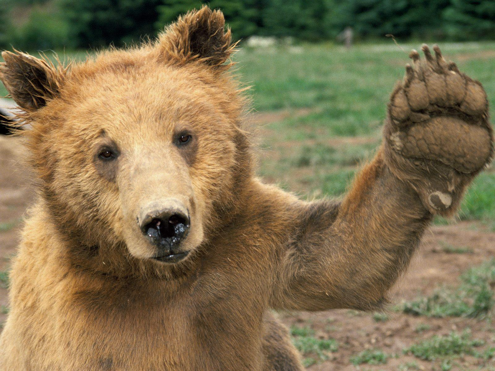 Bear Giving High Five