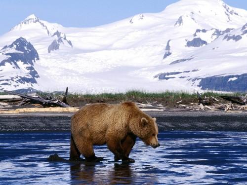 ours fond d'écran