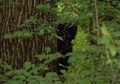 Bigfoot - cryptozoology photo