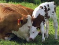 Cow and Calf - cows photo
