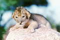Cute baby lion cub - lions photo
