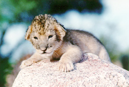 Lions wallpaper titled Cute baby lion cub