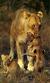 leona and her cubs