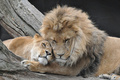 Mufasa & Sarabi - lion-king-couples photo