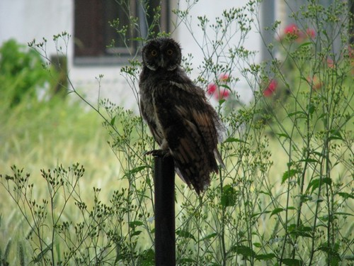 Owl in my back yard!