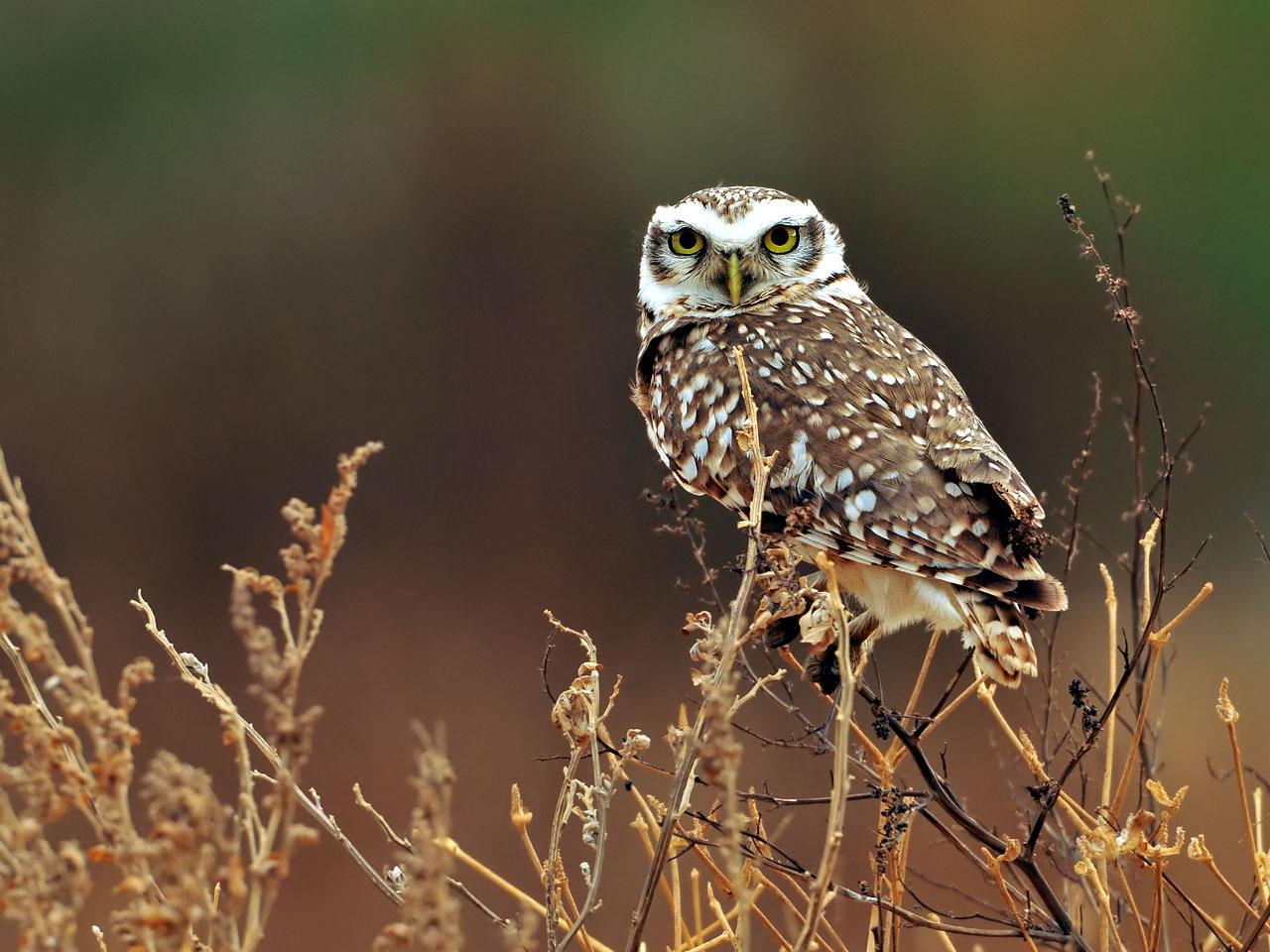 owl owls wallpaper 31450193 fanpop
