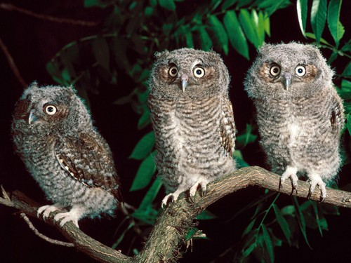Owls fond d'écran with a horned owl, a great horned owl, and a screech owl entitled Owl