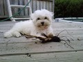 Puppy Maltese (3 months old)