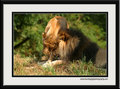 Simba and Nala in love - lion-king-couples photo