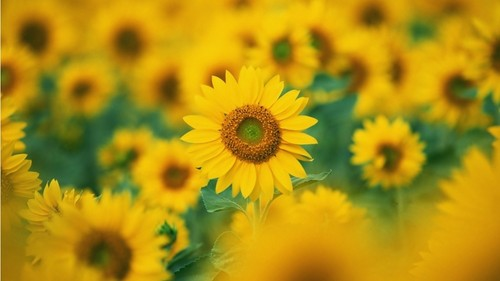 Sunflowers  - flowers Photo