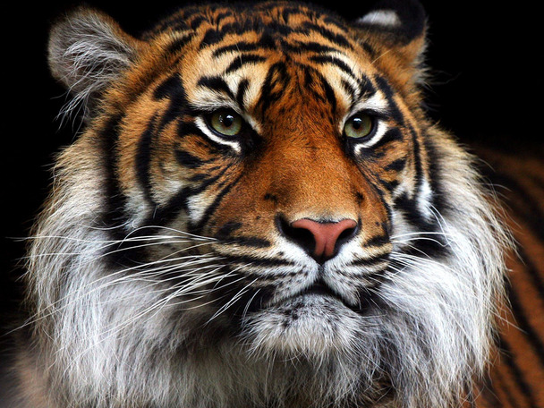 фото тигра на заставку телефона № 15078 без смс