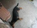 Tiny - Border Terrier mix
