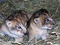 Tiny lion cubs