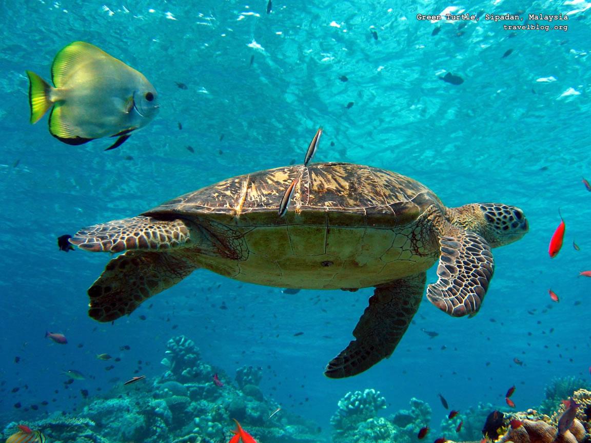 Http Www Fanpop Com Clubs Turtles Images 31450287 Title Turtle Wallpaper