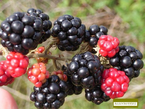 blackberries 바탕화면
