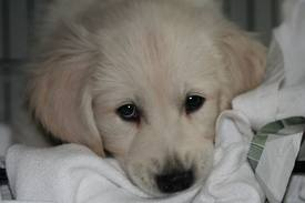 Cute chó con hình nền probably with a great pyrenees called he looks sad