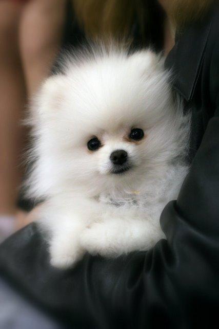 White Pomeranian Puppies