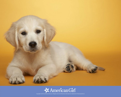 Cute Puppies achtergrond probably with a golden retriever entitled puppy