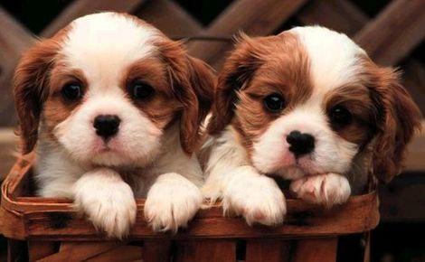 щенок twins