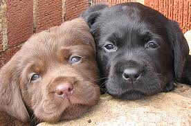 cachorro, filhote de cachorro twins