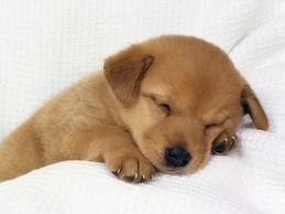 Cute Puppies achtergrond called shhh he's sleeping