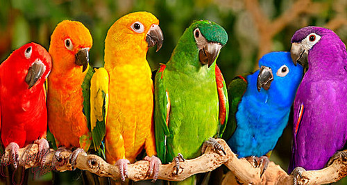 Animals achtergrond possibly with an amazon, a parakeet, and a parkiet, dwergpapegaaien called Birds
