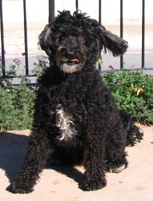 Cyprus Poodle