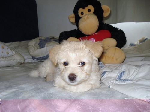 Cyprus Poodle
