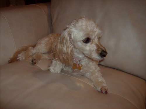 कुत्ता वॉलपेपर titled Cyprus Poodle