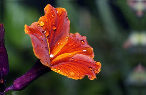 Gilly flor