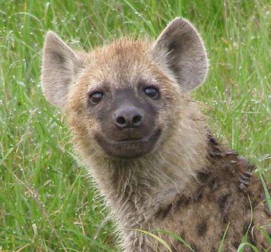 http://images5.fanpop.com/image/photos/31500000/Happy-Hyena-hyenas-31563531-385-358.jpg