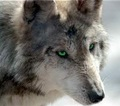 Luna - wolves photo
