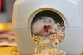 Tofu - hamsters photo