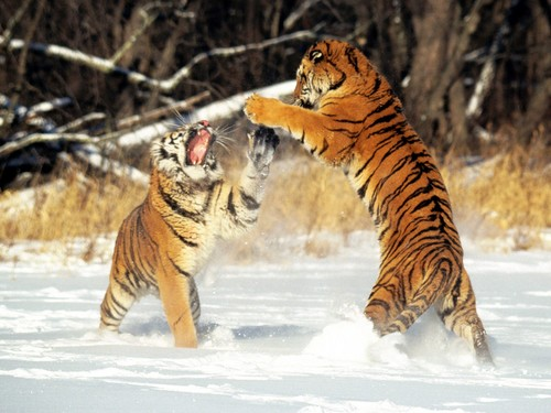 mga hayop wolpeyper containing a bengal tiger, a tiger cub, and a tiger entitled cat fight!;)