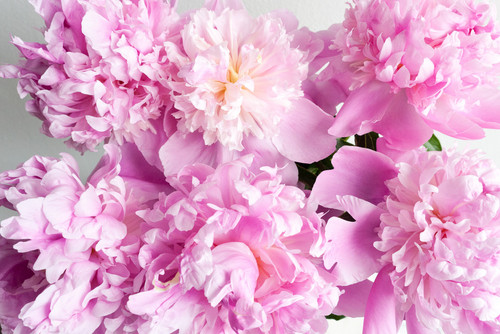 Pink (Color) wallpaper with a begonia, a camellia, and a rhododendron entitled flowers