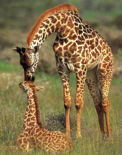 giraffes:)