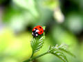 lady bird - animals photo